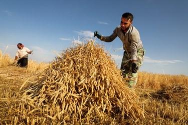خانواده آقای پیری از کشاورزان روستای قره تپه هستند که به کشت گندم در این منطقه می پردازند محصولات خود رابه روش سنتی با داس (درگز) برداشت می کنند.