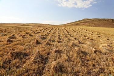 گندم بعد از دِرو شدن در سطح مزرعه به صورت دسته های کوچکتر کنارهم چیده می شود .