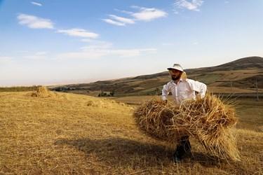 برداشت سنتی گندم از مزارع اردبیل