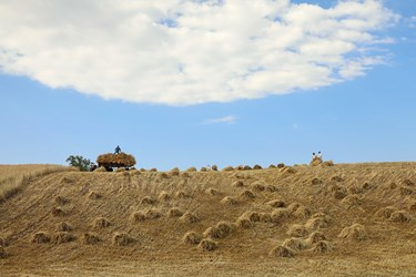 گندم ها برای انتقال  به محل خرمن کوبی بارگیری می شود.