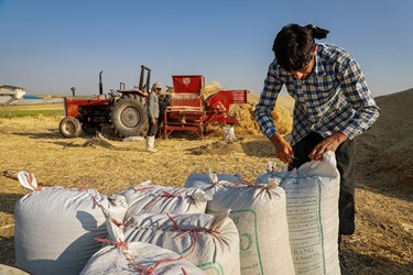 گندم ها بعداز جدا شدن از ساقه در گونی بسته بندی شده و به مراکز فروش این محصول منتقل می شود.