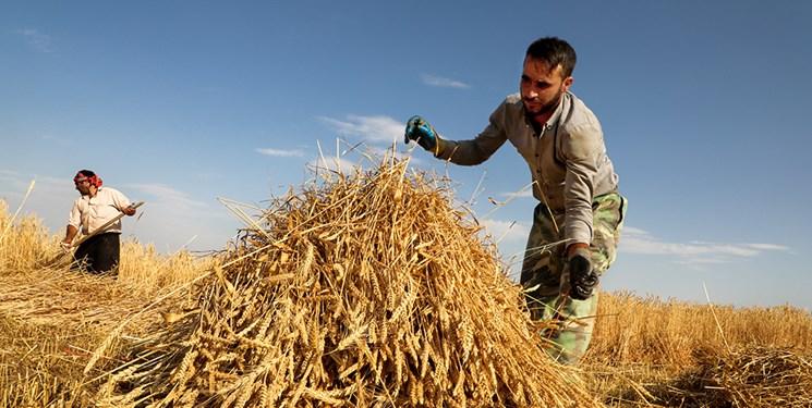 نرخ خرید تضمینی گندم بسیار پایین است/ دولت به کشاورز خارجی یارانه میپردازد