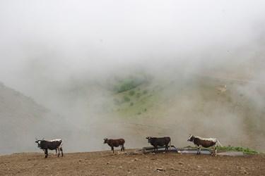 طبيعت مه آلود منطقه و آبشخوارهاي تعبيه شده براي شرب دام