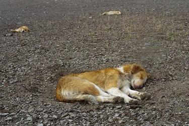 استراحا سگ گله در كنار سراي دامداري
