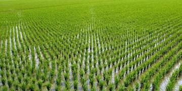 کشت بر نج در کهگیلویه 25 درصد افزایش یافت/نبود کود فسفاته مهمترین مشکل کشاورزان