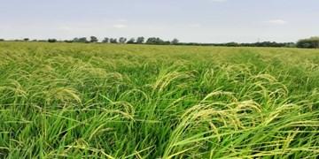 بازدید کارشناسان کشاورزی از مزارع برنج میاندورود/حق با شالیکاران است