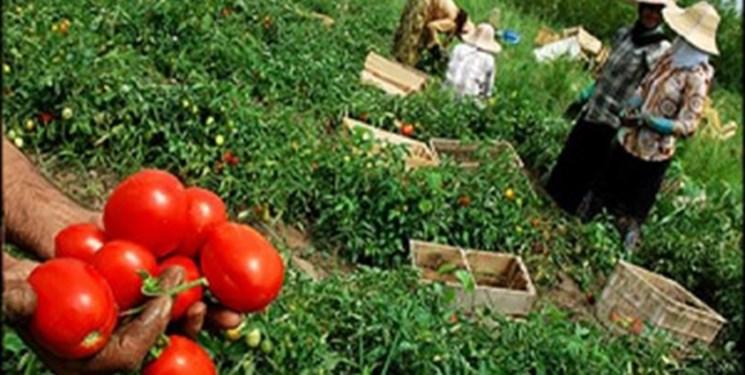 گوجهکاران گلستانی چشم انتظار تأمین اعتبار برای خرید مازاد محصولشان/ جای پای دلالان در کارخانجات رب گوجهفرنگی