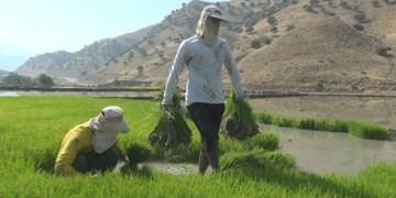 تقابل شالیکاری و خشکسالی در کهگیلویه و بویراحمد/کشت برنج در هفتمین استان خشک کشور؟!