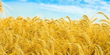 برداشت گندم از مزارع سمنان ۱۰ درصد کاهش یافت/ حمایت از کشاورزان ادامه دارد