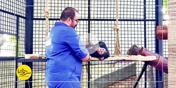 سرخط فارس| «باران» تنها بچهشامپانزه ایران  در یکقدمی مرگ