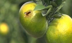 آفت «کرم ابریشم باف ناجور» و «مگس مدیترانهای» در کمین باغهای گلستان