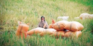 خسارت ۱۷ هزار هکتاری مزارع برنج صومعهسرا به دلیل بارش زیاد باران