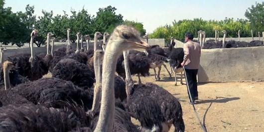افتتاح طرحهای پرورش شترمرغ و بستهبندی عسل در روستاهای اصفهان