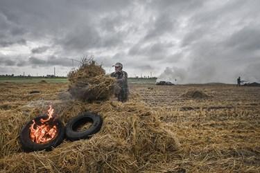 کشاورزان پس از درو برنج ساقه اضافی آنرا در زمین رها میکنند و سپس با کمک تراکتور یا بصورت دستی انرا جمع اوری کرده و میسوزانند