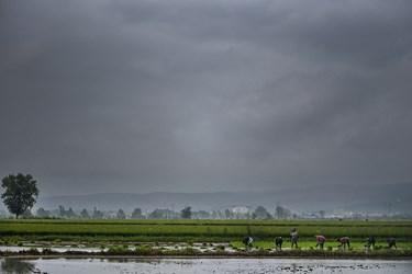 کارگران برای کشت دوم به زمین های کشاورزی رفته نشاع جوانه برنج را آغاز میکنند