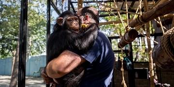 فارس من | با پیگیری های خبرگزاری فارس؛  «باران» تنها بچه شامپانزه ایران به طور موقت از قفس خارج شد