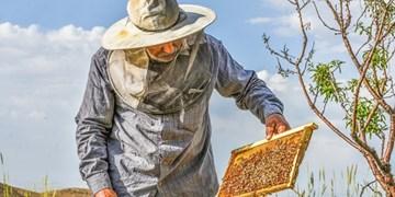 تولید ۹۹۷ تن عسل در زنبورستان های استان قزوین