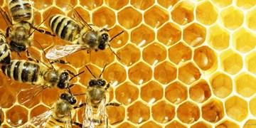 تولید زهر زنبور و ژل رویال در خوی/ ضرورت تقویت بازاریابی و خروج از تک محصولی عسل