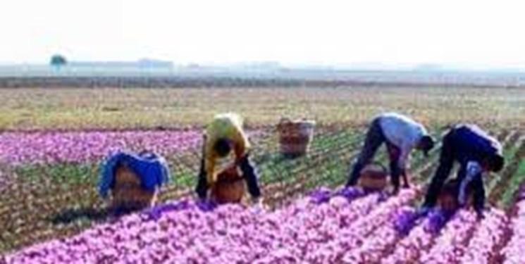 فرآیند برداشت و پاکسازی زعفران در خراسان شمالی باید صنعتی شود