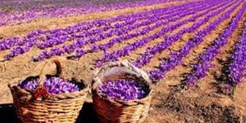رونق کشاورزی با کشت محصول زعفران در گچساران