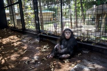 «باران» تنها بچه شامپانزه ایران است که در باغ وحش ارم زندگی میکند