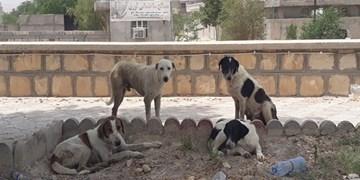 بازار بوشهر در محاصره سگهای ولگرد/ بی تفاوتی محض مسؤولان و فعالان زیست محیط