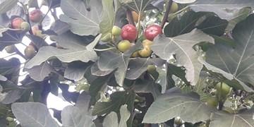 برداشت یاقوتهای سرخ انجیر از باغات نمهیل خلخال/ دلالان دسترنج یکساله کشاورزان را به یغما میبرند
