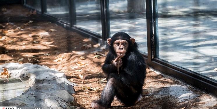 فارس من| ۳ هزار و ۵۰۰ امضا در حمایت از «باران»؛ مردم درباره تنها بچه شامپانزه ایران چه میگویند؟