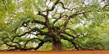 تداوم اجرای طرح محافظت از درختان آسیبدیده و کهنسال بندرعباس