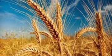 افزایش ۷ درصدی کشت گندم آبی و ۴ درصدی گندم دیم