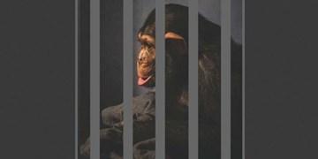 فارس من| موج اینستاگرامی حمایت از «باران»/ تنها بچهشامپانزه ایران را به محل مناسب ببرید