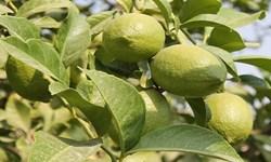 آغاز برداشت لیمو ترش در جهرم؛ بزرگترین تولیدکننده فارس
