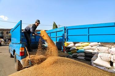 کارگران بار گندمهای خریداری شده از کشاورزان را خالی میکنند.