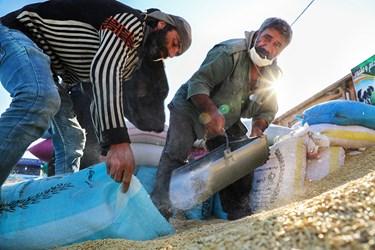 کارگران در حال بسته بندی غلات جو  در بنگاه شبانه روزی علّافان اردبیل