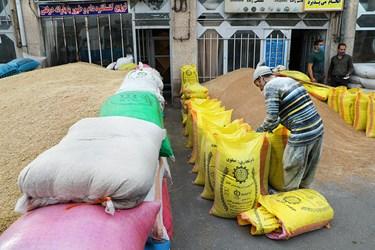 بسته بندی گونیهای گندم برای انتقال به مراکز فروش در بنگاه شبانه روزی علّافان اردبیل