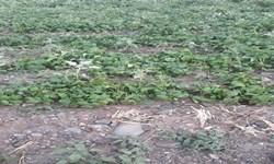 فارس من| فقط ١٢٠ هکتار از اراضی کشاورزی آسیب دیده زیرپوشش بیمه بوده است