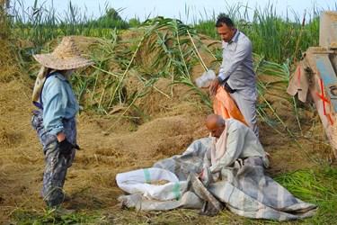 عکس| برداشت برنج از مزارع گیلان تا کارخانه شالیکوبی