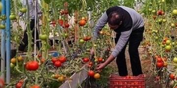 افتتاح ۱۵۶ هکتار گلخانه جدید تا پایان سال در خراسان رضوی