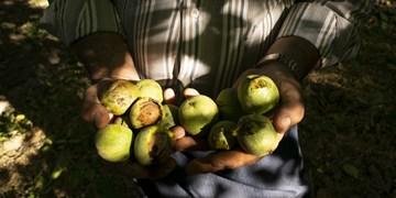 درآمدزایی مطلوب با توسعه باغات گردو/ راهی نزدیک برای فرار از بیکاری