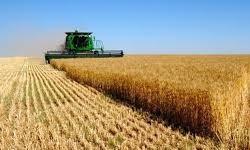 تولید 800 هزار تن گندم  در آذربایجان شرقی
