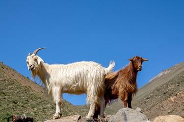 گوسفندان پس از اتمام شستشو در مقابل نور آفتاب ایستادهاند تا خشک شوند
