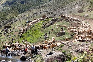 دامداران گوسفندان را برای شستوشو در رودخانه آماده می کنند.
