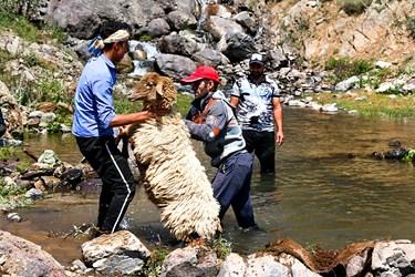 دامداران گوسفندان  را به رودخانه منتقل کرده و شستوشو می دهند.
