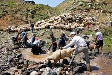 دامداران گوسفندان را برای شستوشو وارد رودخانه میکنند