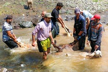 شستوشوی گوسفندان توسط دامداران  روستای ناتِر  شهر مرزن آباد