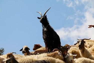 گوسفندان در صف انتظار شستشو