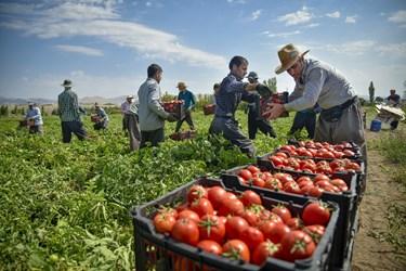 کارگران در حال انتقال سبدهای آماده شده پس از برداشت گوجه فرنگی به سمت کامیون جهت انتقال به بازار مصرف روزانه و کارخانههای مواد غذایی