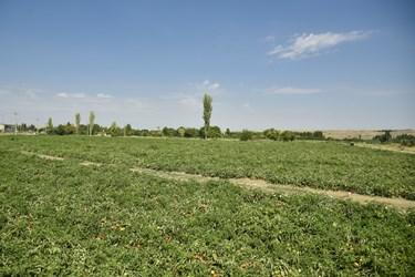 مزارع گوجه فرنگی در بخش زنجانرود استان زنجان که آماده برداشت محصول و آماده کردن جهت ارسال به بازارهای مصرف و انتقال به کارخانه های موادغذایی است .