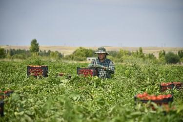 شاپور کارگری 20 ساله ، در حال برداشت گوجه فرنگی و گذاشتن آن ها در سبد ها