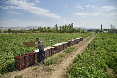 چک کردن سبدهای آماده شده پس از برداشت گوجه فرنگی / مزرعه گوجه فرنگی در بخش زنجانرود استان زنجان